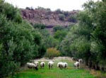 Pic sheep in olive orchard taken closer